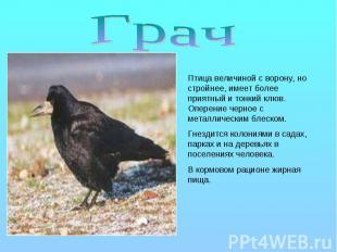 Грач Птица величиной с ворону, но стройнее, имеет более приятный и тонкий клюв.