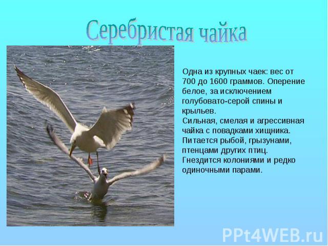 Серебристая чайка Одна из крупных чаек: вес от 700 до 1600 граммов. Оперение белое, за исключением голубовато-серой спины и крыльев. Сильная, смелая и агрессивная чайка с повадками хищника. Питается рыбой, грызунами, птенцами других птиц. Гнездится …