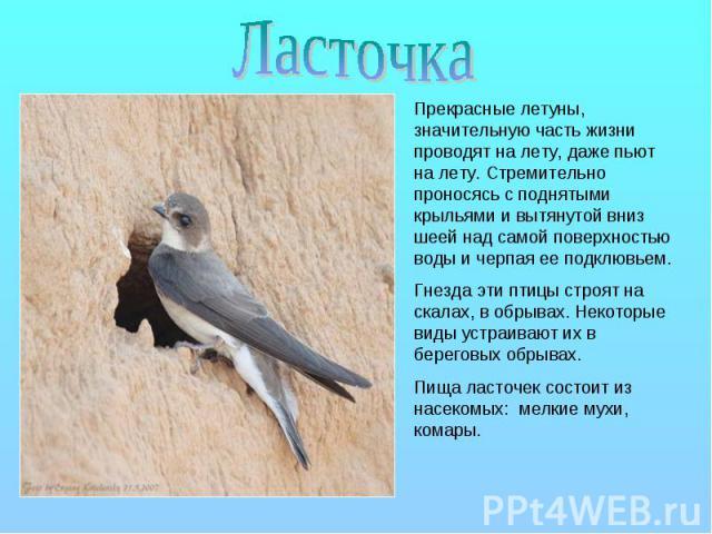 Ласточка Прекрасные летуны, значительную часть жизни проводят на лету, даже пьют на лету. Стремительно проносясь с поднятыми крыльями и вытянутой вниз шеей над самой поверхностью воды и черпая ее подклювьем. Гнезда эти птицы строят на скалах, в обры…