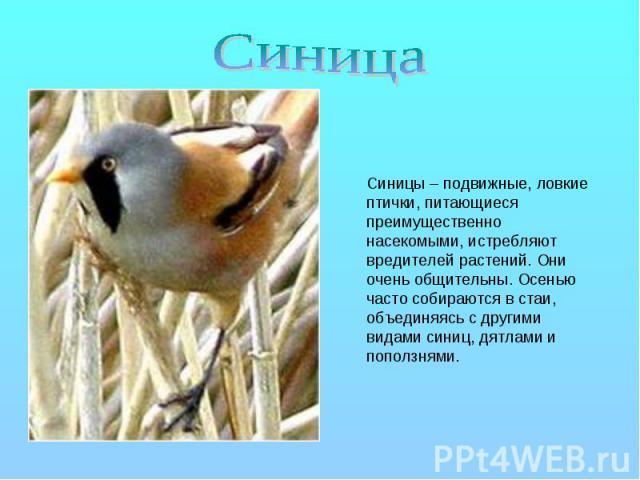 Синица Синицы – подвижные, ловкие птички, питающиеся преимущественно насекомыми, истребляют вредителей растений. Они очень общительны. Осенью часто собираются в стаи, объединяясь с другими видами синиц, дятлами и поползнями.