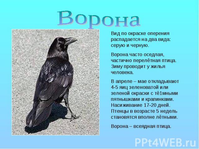 Ворона Вид по окраске оперения распадается на два вида: серую и черную. Ворона часто оседлая, частично перелётная птица. Зиму проводит у жилья человека. В апреле – мае откладывают 4-5 яиц зеленоватой или зеленой окраски с тё1мными пятнышками и крапи…