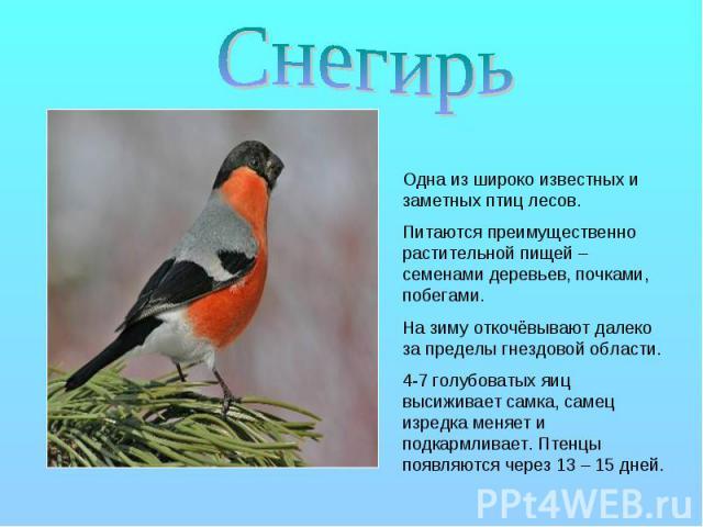 Снегирь Одна из широко известных и заметных птиц лесов. Питаются преимущественно растительной пищей – семенами деревьев, почками, побегами. На зиму откочёвывают далеко за пределы гнездовой области. 4-7 голубоватых яиц высиживает самка, самец изредка…