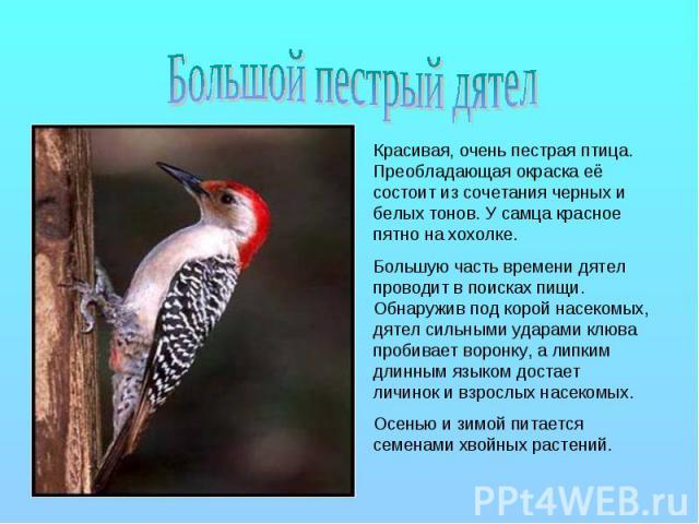 Большой пестрый дятел Красивая, очень пестрая птица. Преобладающая окраска её состоит из сочетания черных и белых тонов. У самца красное пятно на хохолке. Большую часть времени дятел проводит в поисках пищи. Обнаружив под корой насекомых, дятел силь…