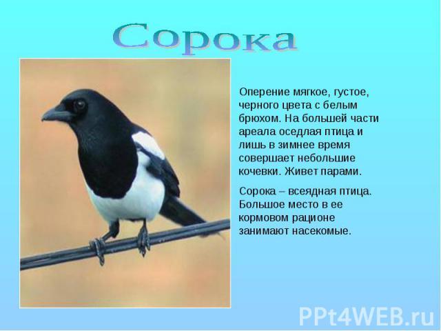 Сорока Оперение мягкое, густое, черного цвета с белым брюхом. На большей части ареала оседлая птица и лишь в зимнее время совершает небольшие кочевки. Живет парами. Сорока – всеядная птица. Большое место в ее кормовом рационе занимают насекомые.