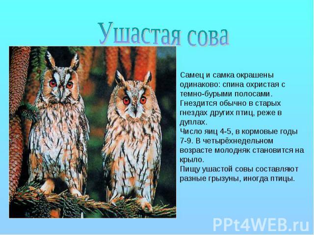Ушастая сова Самец и самка окрашены одинаково: спина охристая с темно-бурыми полосами. Гнездится обычно в старых гнездах других птиц, реже в дуплах. Число яиц 4-5, в кормовые годы 7-9. В четырёхнедельном возрасте молодняк становится на крыло. Пищу у…