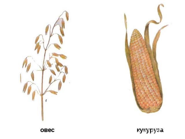 овес кукуруза