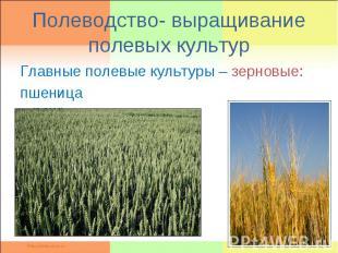 Полеводство- выращивание полевых культурГлавные полевые культуры – зерновые: пше