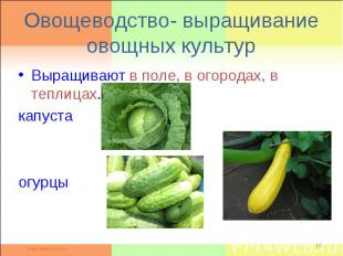 Овощеводство- выращивание овощных культурВыращивают в поле, в огородах, в теплиц