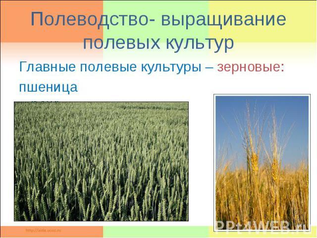 Полеводство- выращивание полевых культурГлавные полевые культуры – зерновые: пшеница рожь