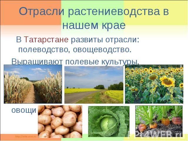 Отрасли растениеводства в нашем крае В Татарстане развиты отрасли: полеводство, овощеводство. Выращивают полевые культуры, овощи