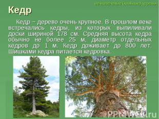 Кедр Кедр − дерево очень крупное. В прошлом веке встречались кедры, из которых в