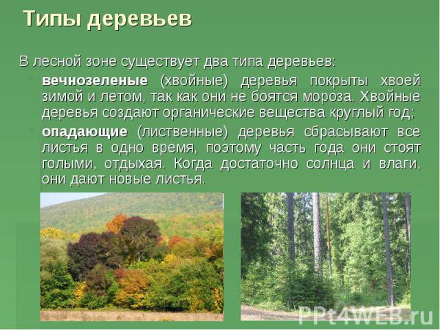 Типы деревьев В лесной зоне существует два типа деревьев: вечнозеленые (хвойные) деревья покрыты хвоей зимой и летом, так как они не боятся мороза. Хвойные деревья создают органические вещества круглый год; опадающие (лиственные) деревья сбрасывают …