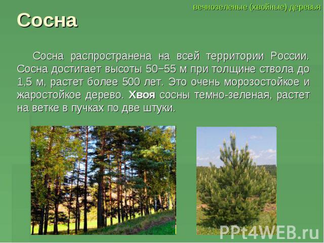 Сосна Сосна распространена на всей территории России. Сосна достигает высоты 50−55 м при толщине ствола до 1,5 м, растет более 500 лет. Это очень морозостойкое и жаростойкое дерево. Хвоя сосны темно-зеленая, растет на ветке в пучках по две штуки.