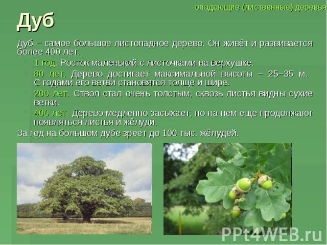 Дуб Дуб − самое большое листопадное дерево. Он живёт и развивается более 400 лет. 1 год. Росток маленький с листочками на верхушке. 80 лет. Дерево достигает максимальной высоты − 25−35 м. С годами его ветви становятся толще и шире. 200 лет. Ствол ст…