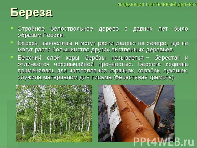 БерезаСтройное белоствольное дерево с давних лет было образом России. Березы выносливы и могут расти далеко на севере, где не могут расти большинство других лиственных деревьев. Верхний слой коры берёзы называется− береста и отличается чрезвычайной…