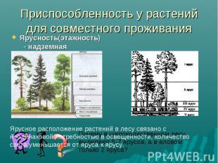 Приспособленность у растений для совместного проживанияЯрусность(этажность) - на
