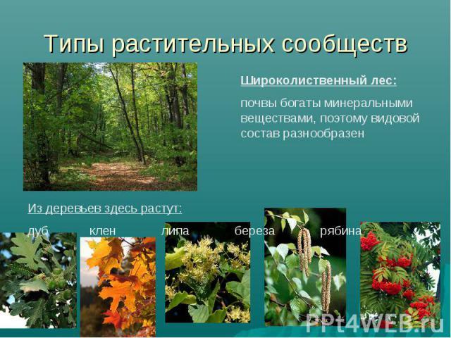 Типы растительных сообществ Широколиственный лес: почвы богаты минеральными веществами, поэтому видовой состав разнообразен Из деревьев здесь растут: дуб клен липа береза рябина