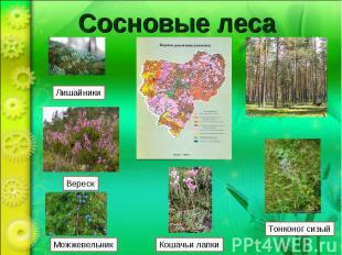 Сосновые лесаЛишайники Вереск Можжевельник Кошачьи лапки Тонконог сизый