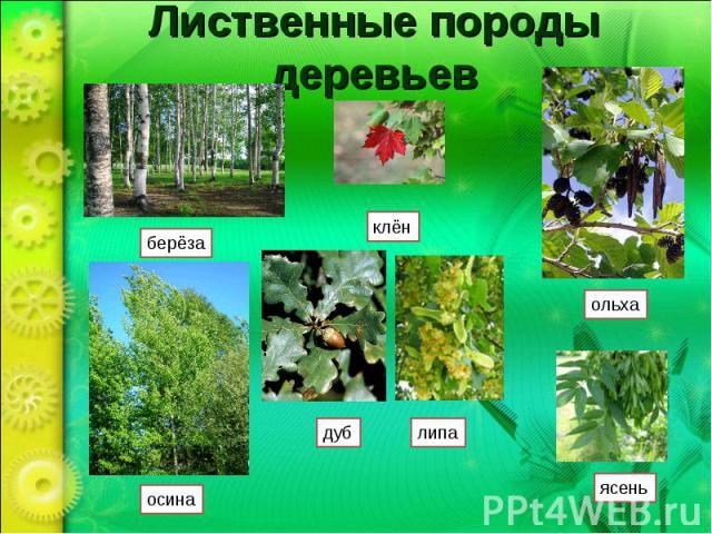 Лиственные породы деревьев