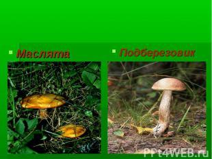 Многоклеточные грибы Маслята Подберезовик