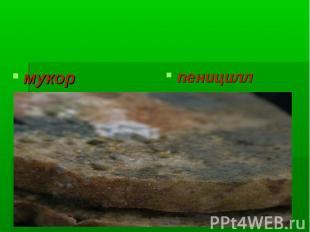 Одноклеточные грибы мукор пеницилл