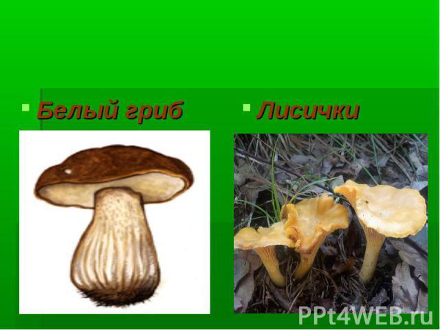 Многоклеточные грибы Белый гриб Лисички