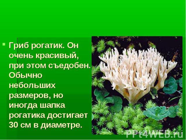 Многоклеточные грибы Гриб рогатик. Он очень красивый, при этом съедобен. Обычно небольших размеров, но иногда шапка рогатика достигает 30 см в диаметре.