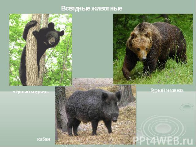Всеядные животные чёрный медведь кабан бурый медведь
