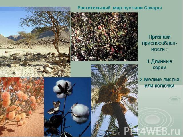 Растительный мир пустыни Сахары Признаки приспособлен-ности : 1.Длинные корни 2.Мелкие листья или колючки