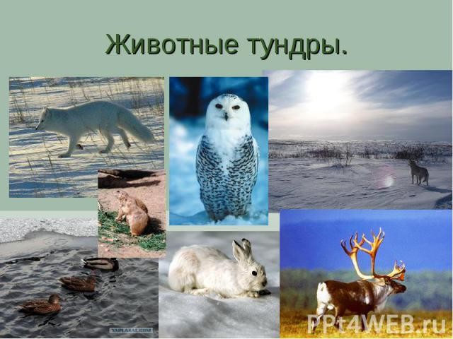 Животные тундры.