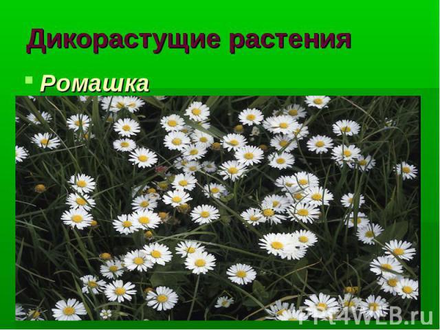 Дикорастущие растения Ромашка