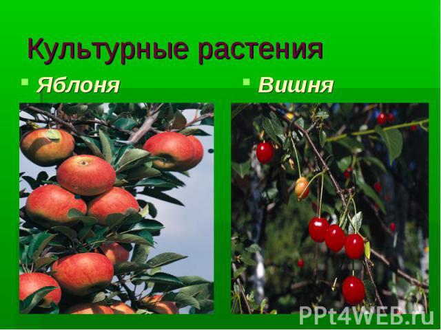 Культурные растения Яблоня Вишня
