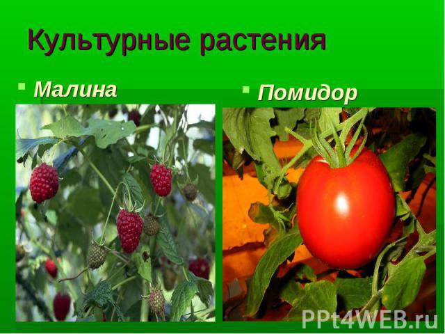 Культурные растения Малина Помидор