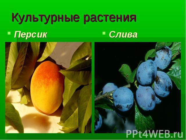 Культурные растения Персик Слива