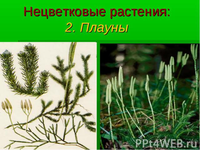 Нецветковые растения: 2. Плауны