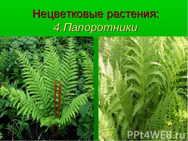 Нецветковые растения: 4.Папоротники