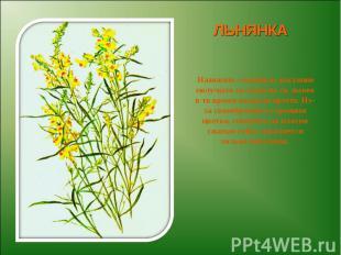 ЛЬНЯНКА Название «льнянка» растение получило за сходство со льном в то время ког