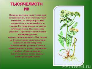 ТЫСЯЧЕЛИСТНИК Недаром растение носит такое имя: если посчитать число мелких узки