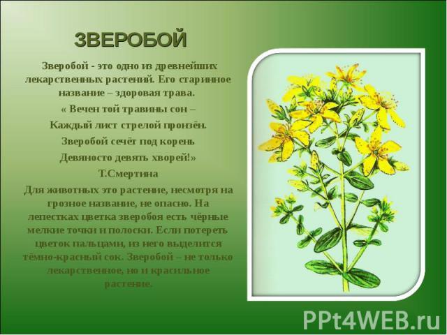 ЗВЕРОБОЙ Зверобой - это одно из древнейших лекарственных растений. Его старинное название – здоровая трава. « Вечен той травины сон – Каждый лист стрелой пронзён. Зверобой сечёт под корень Девяносто девять хворей!» Т.Смертина Для животных это растен…