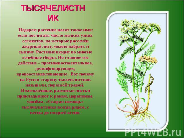 ТЫСЯЧЕЛИСТНИК Недаром растение носит такое имя: если посчитать число мелких узких сегментов, на которые рассечён ажурный лист, можно набрать и тысячу. Растение входит во многие лечебные сборы. Но главное его действие – противовоспалительное, дезинфи…