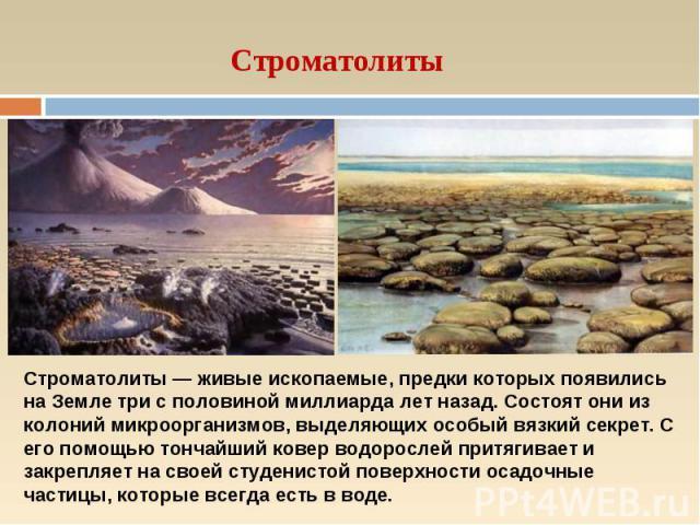 Строматолиты Строматолиты — живые ископаемые, предки которых появились на Земле три с половиной миллиарда лет назад. Состоят они из колоний микроорганизмов, выделяющих особый вязкий секрет. С его помощью тончайший ковер водорослей притягивает и закр…