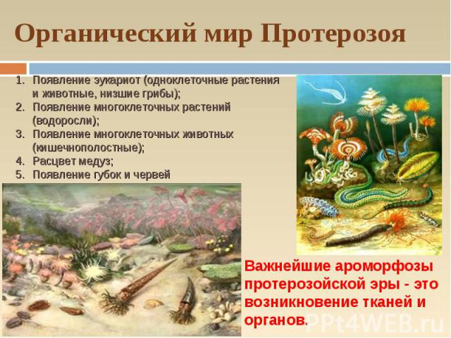 Органический мир Протерозоя Появление эукариот (одноклеточные растения и животные, низшие грибы); Появление многоклеточных растений (водоросли); Появление многоклеточных животных (кишечнополостные); Расцвет медуз; Появление губок и червей Важнейшие …