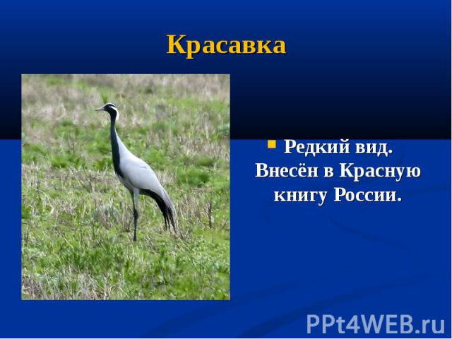 Красавка Редкий вид. Внесён в Красную книгу России.