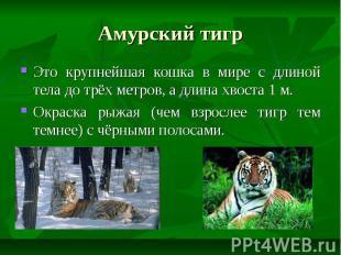 Амурский тигр Это крупнейшая кошка в мире с длиной тела до трёх метров, а длина