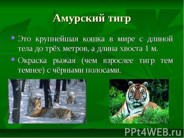 Амурский тигр Это крупнейшая кошка в мире с длиной тела до трёх метров, а длина хвоста 1 м. Окраска рыжая (чем взрослее тигр тем темнее) с чёрными полосами.