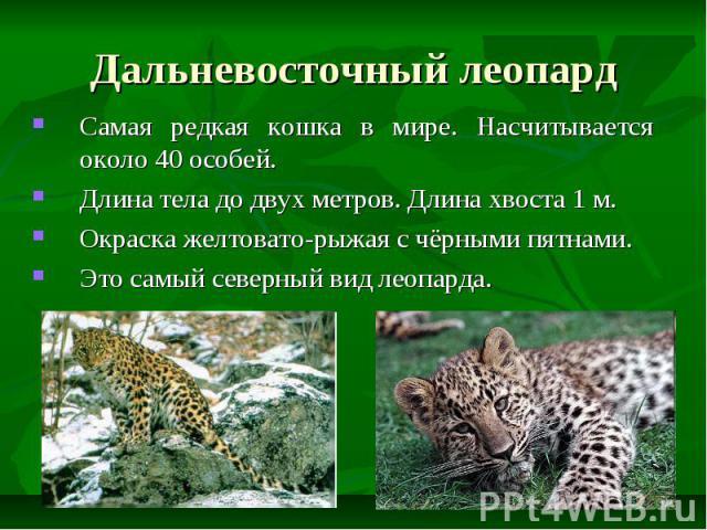 Дальневосточный леопард Самая редкая кошка в мире. Насчитывается около 40 особей. Длина тела до двух метров. Длина хвоста 1 м. Окраска желтовато-рыжая с чёрными пятнами. Это самый северный вид леопарда.