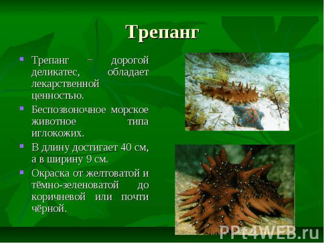 Трепанг Трепанг − дорогой деликатес, обладает лекарственной ценностью. Беспозвоночное морское животное типа иглокожих. В длину достигает 40 см, а в ширину 9 см. Окраска от желтоватой и тёмно-зеленоватой до коричневой или почти чёрной.