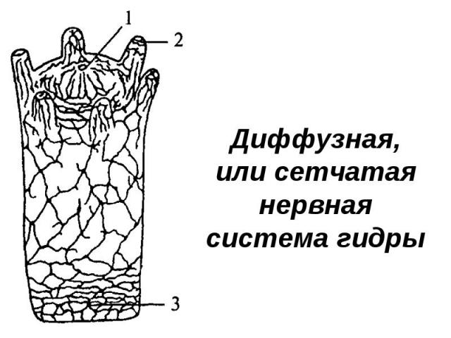 Диффузная, или сетчатая нервная система гидры