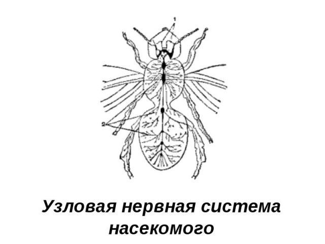 Узловая нервная система насекомого
