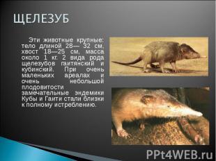 ЩЕЛЕЗУБ Эти животные крупные: тело длиной 28— 32 см, хвост 18—25 см, масса около